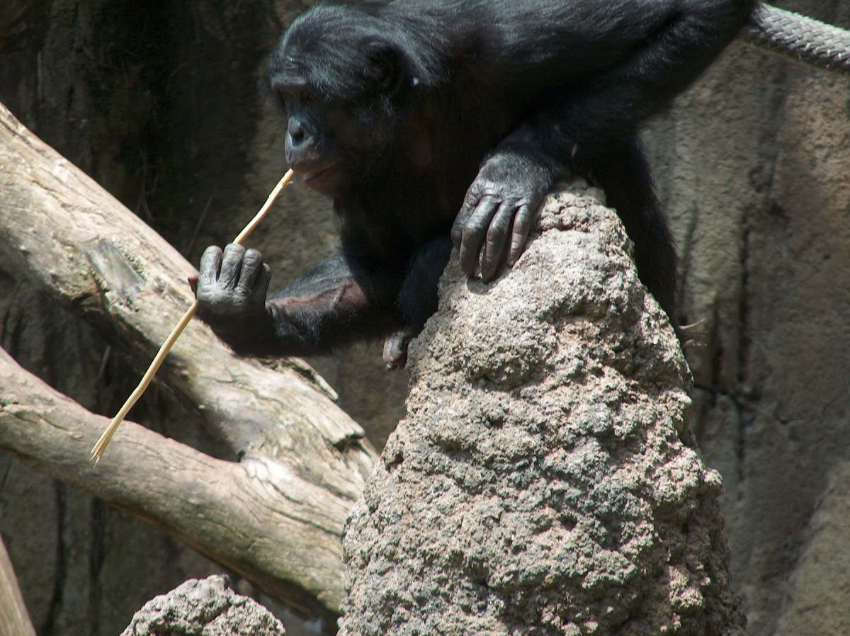 A Bonobo at the San Diego Zoo fishing for termites.