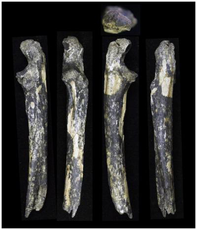 An international team of paleontologists led by Emma Mbua of Mount Kenya University and Masato Nakatsukasa of Kyoto University report findings of fossilized teeth and forearm bone from an adult male and two infant A. afarensis from an exposure eroded by the Kantis River in Ongata-Rongai, a settlement in the outskirts of Nairobi. Credit: Masato Nakatsukasa / Kyoto University