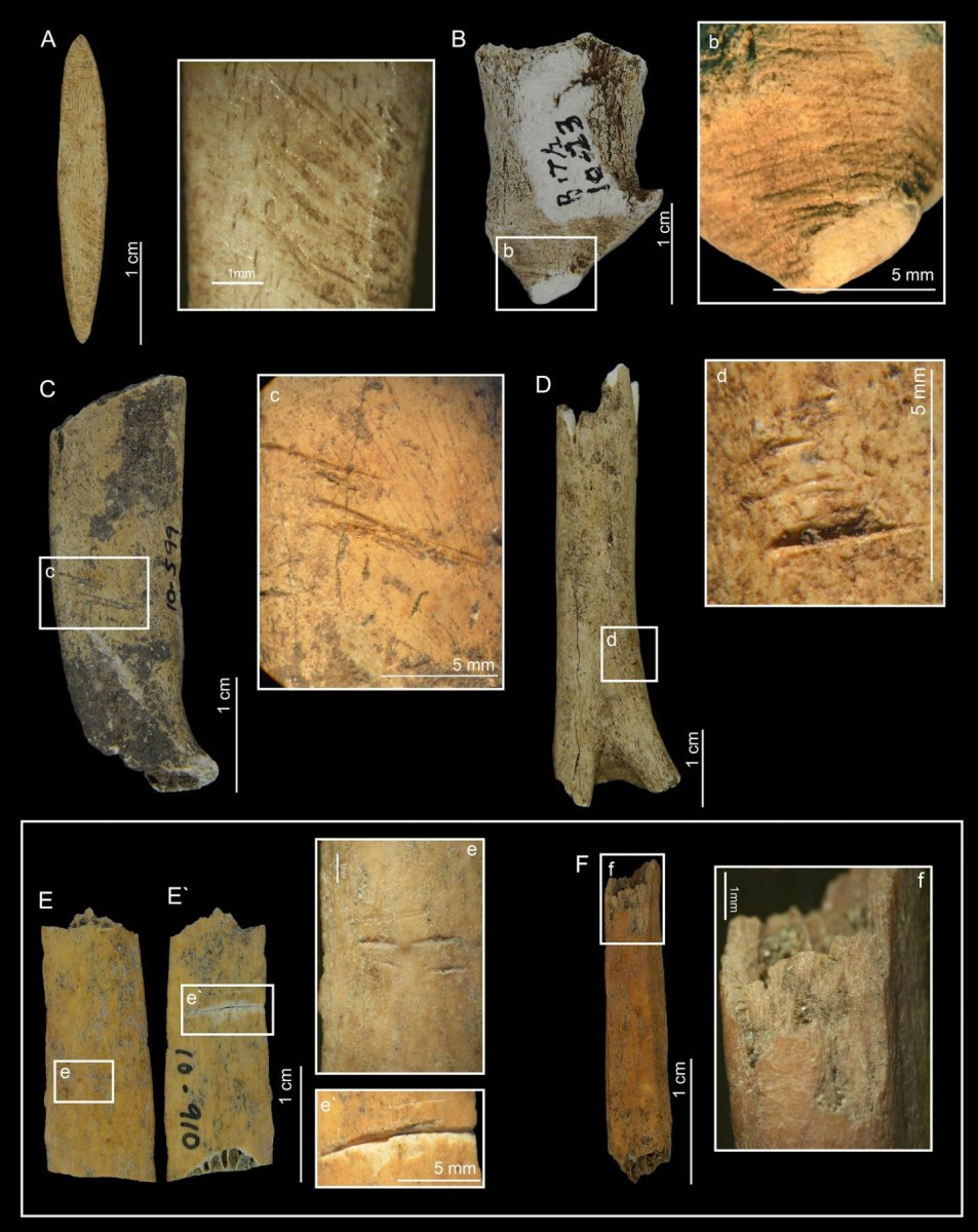 Bones of dwarf deer show butchering marks. Archaeologists on Pedro González Island in the Bay of Panama were surprised to find bones of a dwarf deer in a 6,000-year-old waste pile of island residents who apparently hunted the deer to extinction. Credit: STRI
