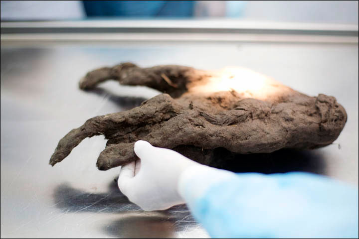 Scientists were able to extract samples of hair and soft tissu, once the carcass was cleaned from mud and soil. Photo Credit: Ivan Tishchenko/Siberian Times.