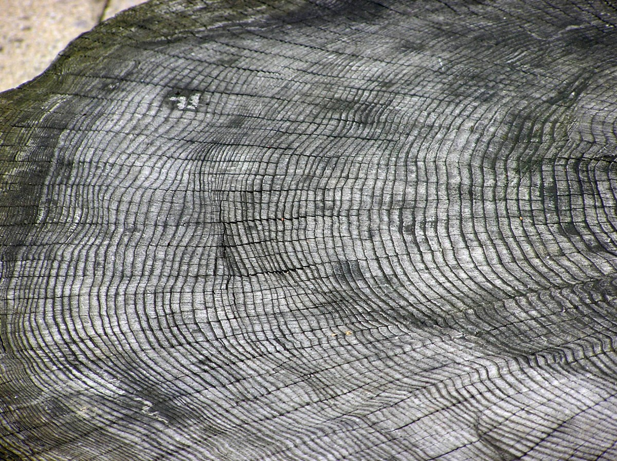 The growth rings of a tree at Bristol Zoo, England. Each ring represents one year; the outside rings, near the bark, are the youngest.