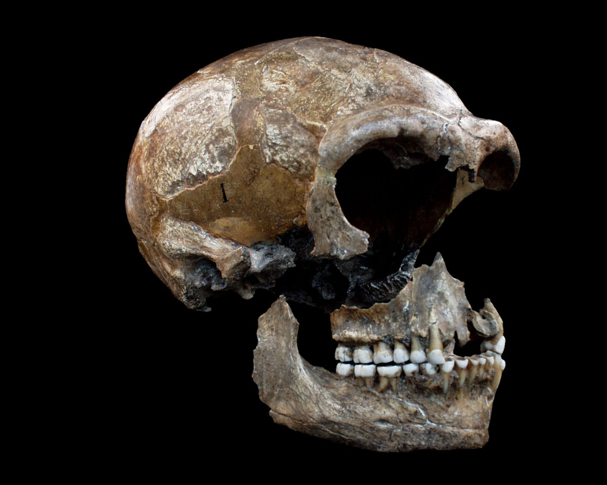 The collagen from the Neanderthals' bones offers  clues to their diet. © Bocherens