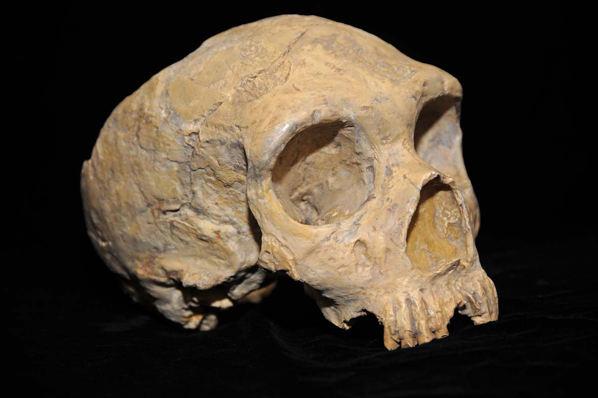 The Gibraltar 1 skull, discovered in 1848 in Forbes' Quarry, was only the second Neanderthal skull and the first adult Neanderthal skull ever found. Credit CC BY-SA 3.0.