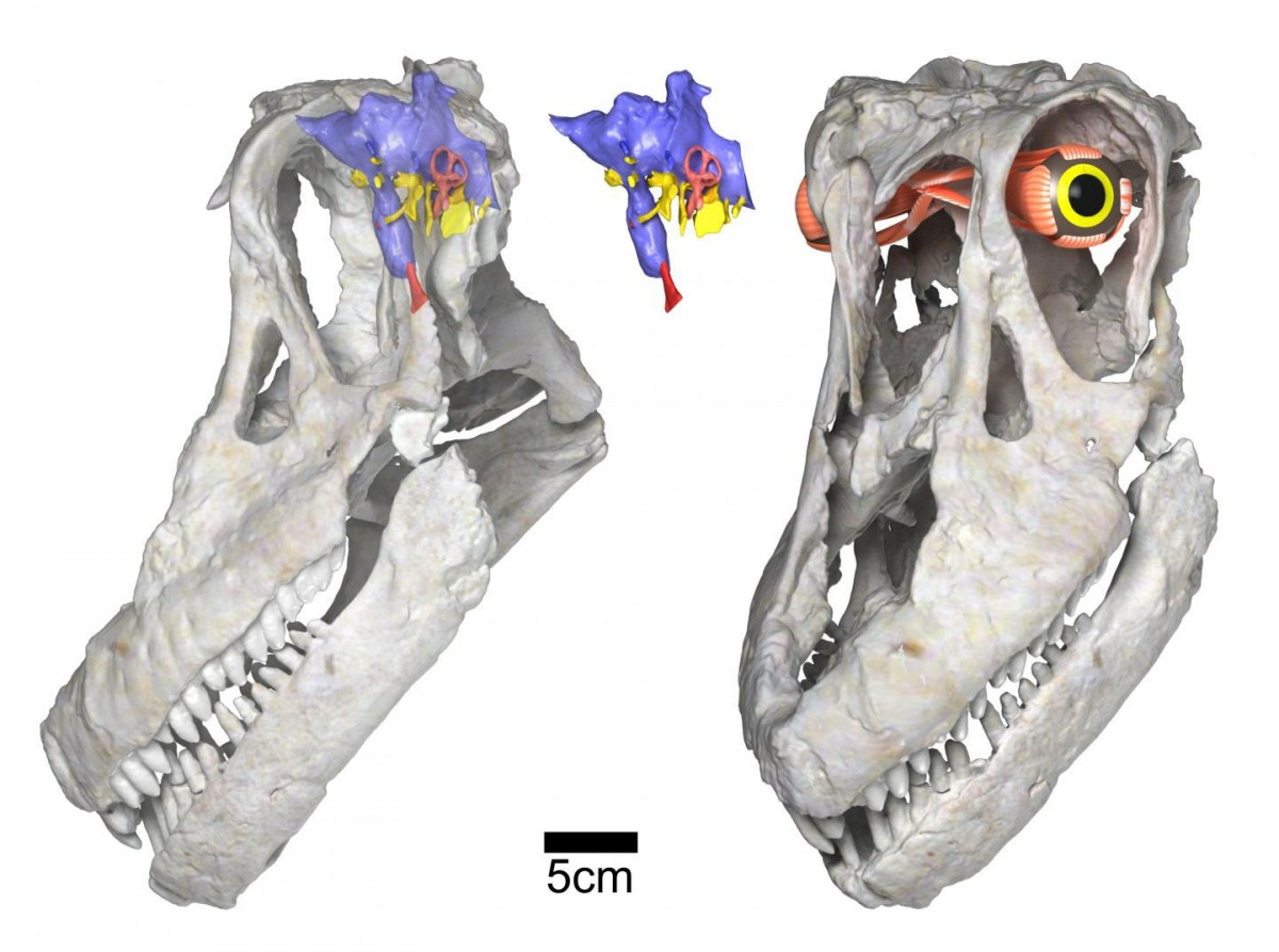 Digital renderings of the skull and reconstructed brain endocast and eye of the new titanosaurian dinosaur species Sarmientosaurus musacchioi. Scale bar equals five centimeters. Credit: WitmerLab, Ohio University.