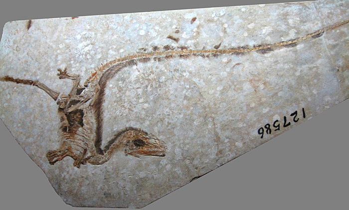 Exquisitely preserved fossil theropod called Sinosauropteryx found at Liaoning. Photo by Sam Ose, from Wikipedia.