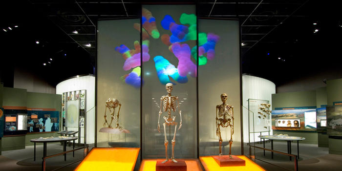 New research suggests the larger bodies of modern humans, shown here in the Spitzer Hall of Human Origins, are genetically linked to their bigger brains. © AMNH