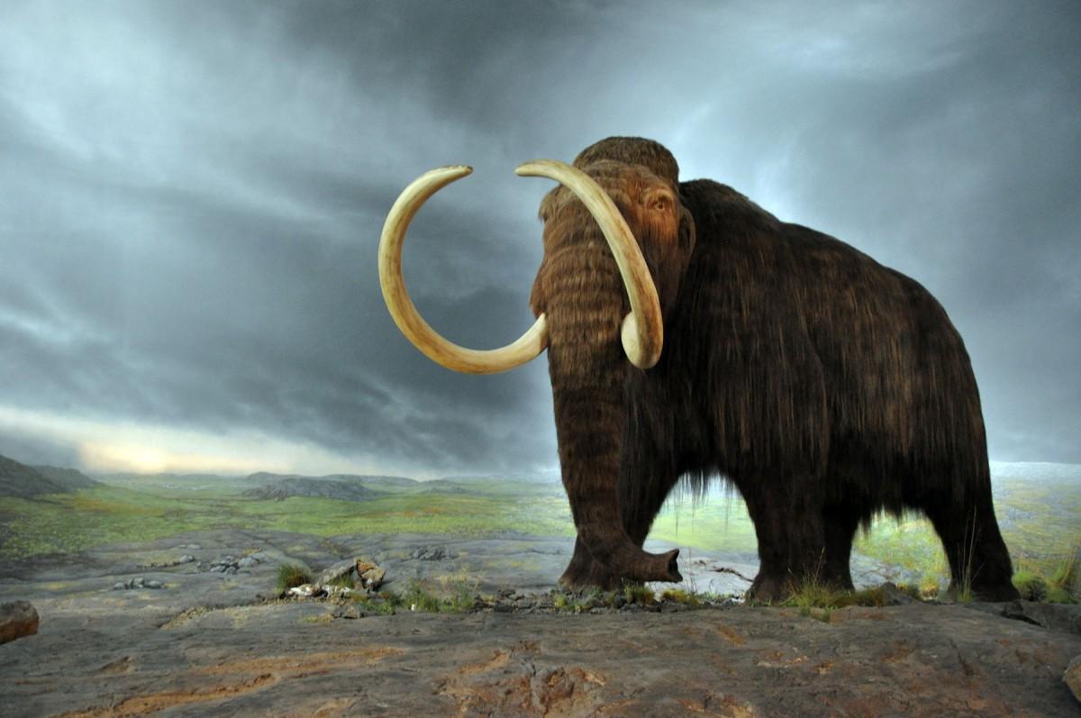 Wooly mammoth. Model at the Royal BC Museum. Credit: CC BY-SA 2.0