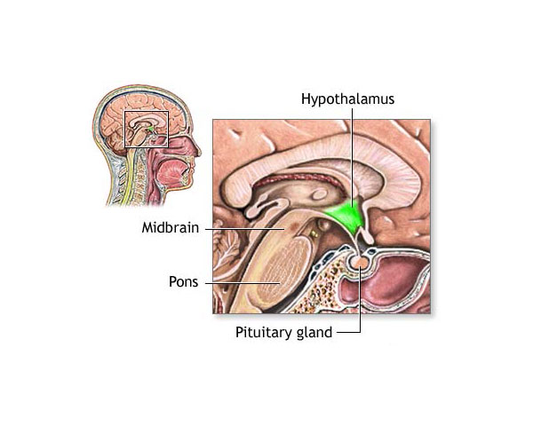 Fig. 6. Shown in green is the hypothalamus, the basic gland that regulates our endocrine system.