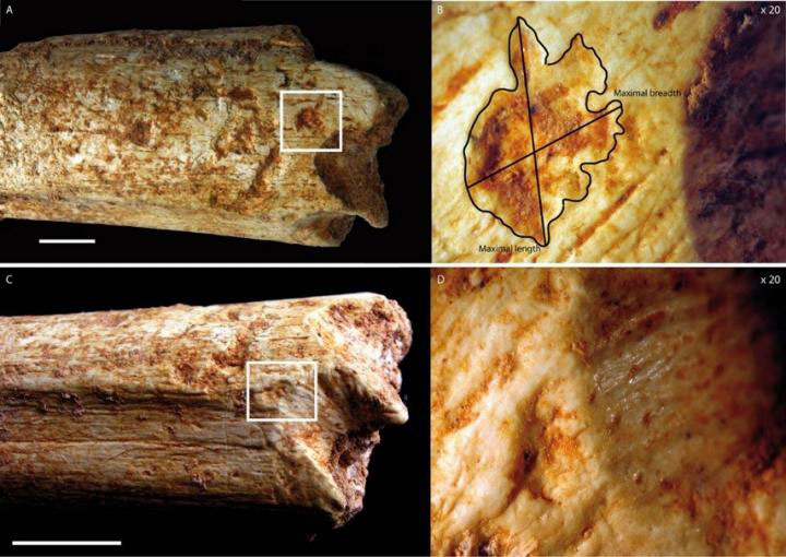 Tooth-marks on a 500,000-year-old hominin femur bone found in a Moroccan cave indicate that it was consumed by large carnivores, likely hyenas, according to a study published April 27, 2016 in the open-access journal PLOS ONE. Image Credit: C. Daujeard PLOS ONE e0152284.