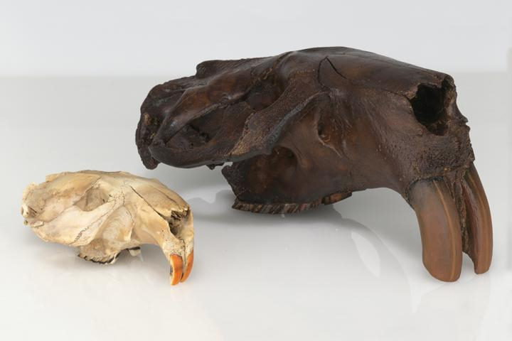 The first fossil skull of Castoroides ohioensis found in 1845 alongside the skull of a modern beaver. Credit: New York State Museum.