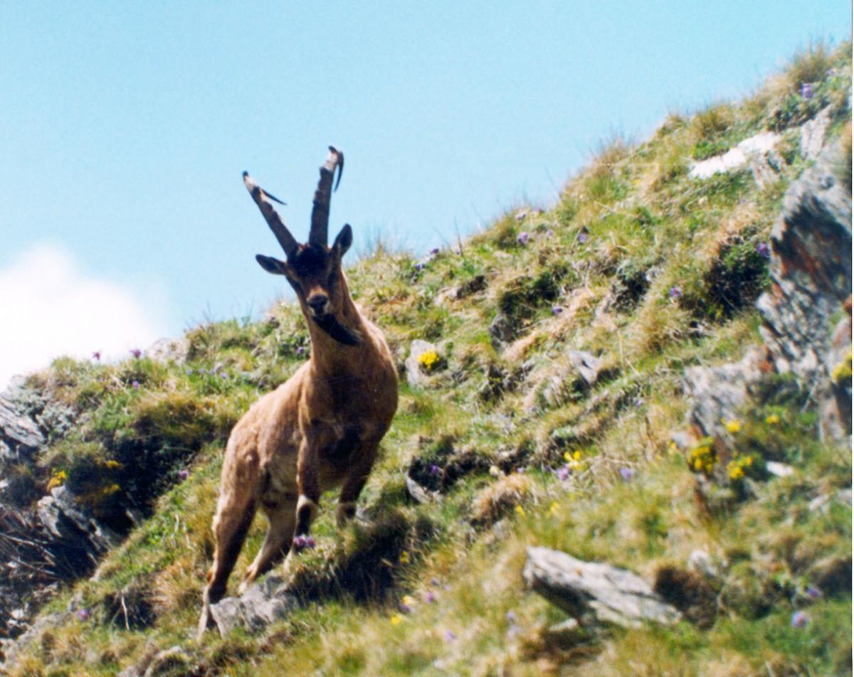 Bezoar goat. © WWF Caucasus.