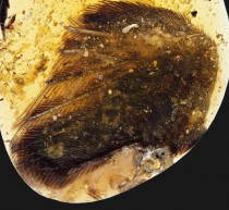 Prehistoric birds wings exceptionally preserved in amber