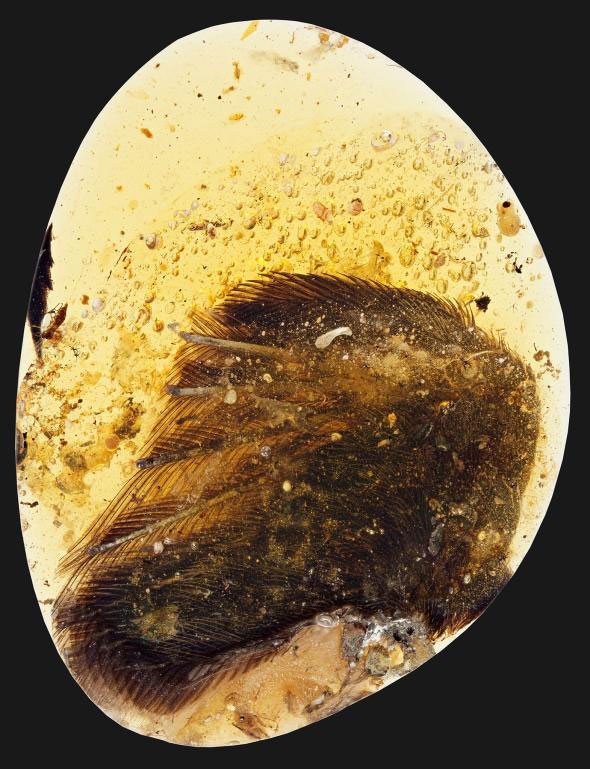 Bones, soft tissue, and feathers preserved in amber. Photo Credit: Ryan C. McKellar/National Geographic.