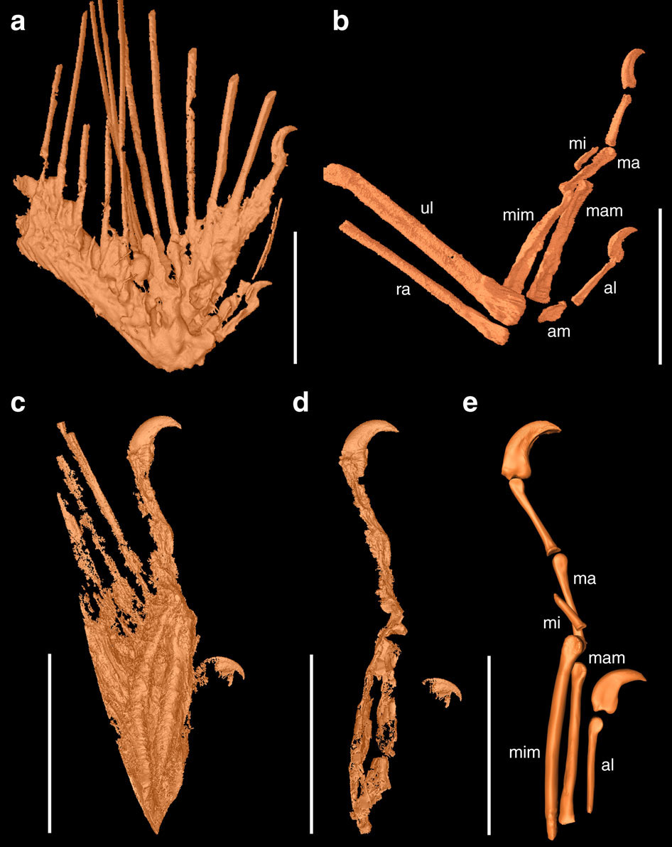 SR X-ray μCT reconstructions of osteology in DIP-V-15100 and DIP-V-15101. Image Credit: Nature Communications.