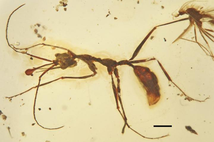 General dorsal view of holotype of new late Cretaceous worker ants Ceratomyrmex ellenbergeri. Credit: Image by WANG Bo.