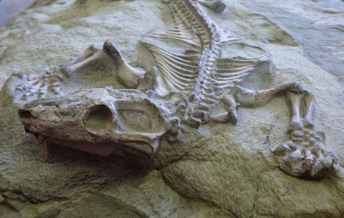 Fossil of a Galesaurus, a cynodont closely related to Thrinaxodon. Credit: Iziko Museum of Natuarl History.