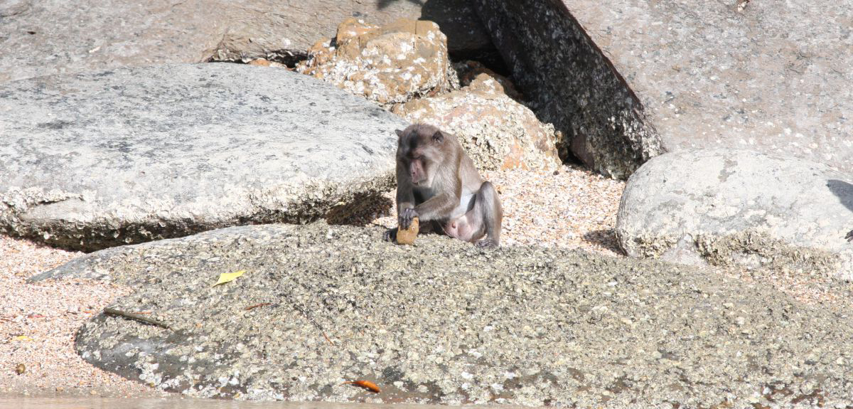 From a distance in boats off the coast, researchers spent hundreds of hours watching how groups of macaques in the marine national park on Piak Nam Yai Island selected stones as tools to crush marine snails, nuts and crabs.