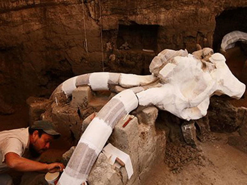 Archaeologists unearth the remains of a 14,000-year-old Columbian mammoth in the Tultepec village in Mexico City. Photo Credit: Emirates247/Tech Times.