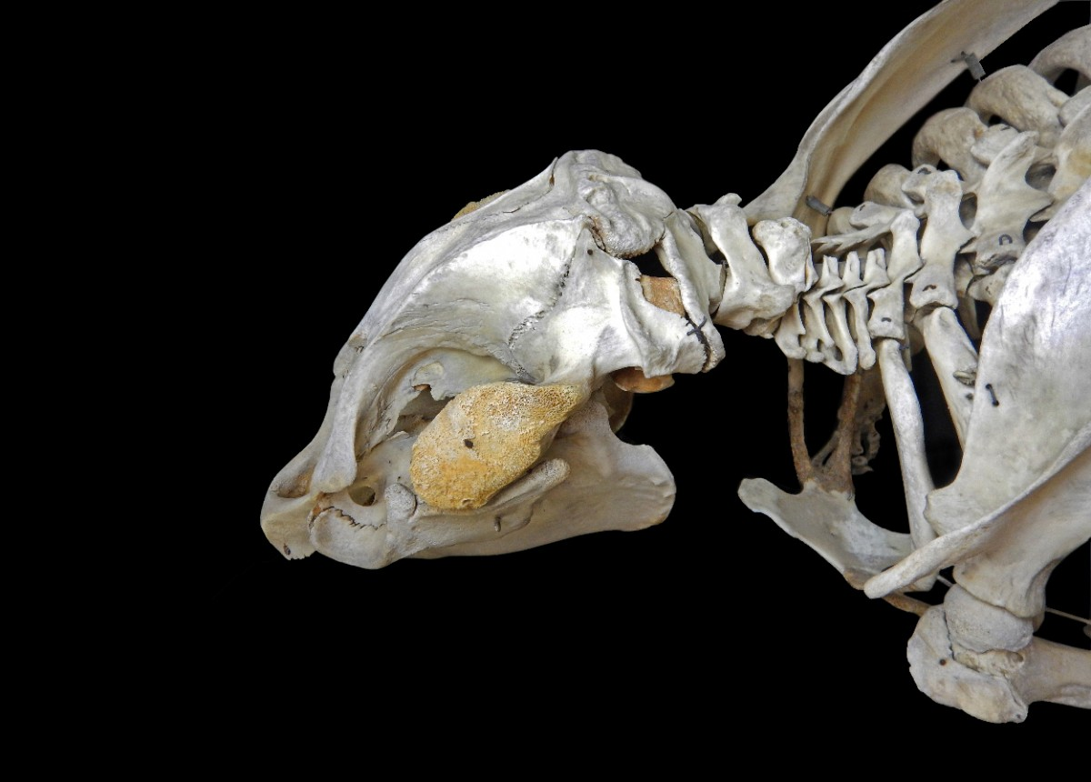 Skeleton of Manatee.