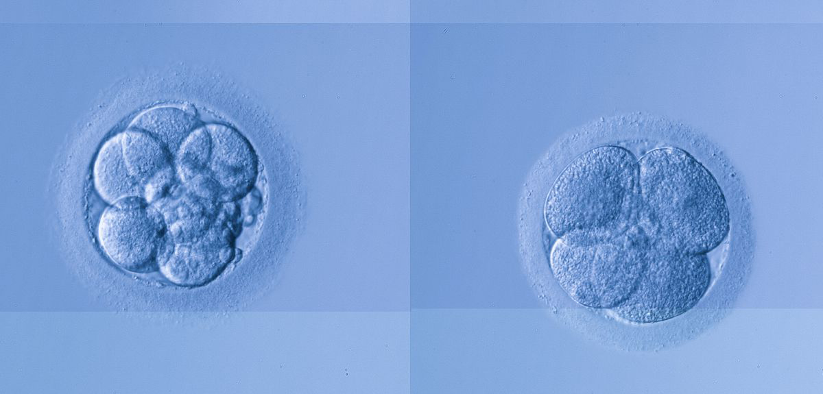 Genes only act in one brief period during the early stages of an embryo. Credit: University of Oxford