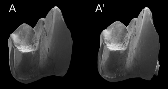 Stereophotographs of a lower molar of the new hypercarnivorous marsupial Whollydooleya tomnpatrichorum, the first of a range of unique animals found in Whollydooley Site rocks. Photo: Suzanne Hand