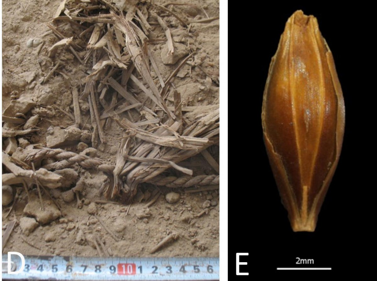 Right: Photograph during excavation exhibiting excellent dry preservation of plant remains Left: A well-preserved, desiccated barley grain found at Yoram Cave. Credit: Uri Davidovich