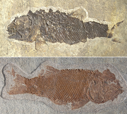 A specimen of the newly identified fossil species Ticinolepis crassidens (above) and of the species Ticinolepis longaeva. (Source: Adriana López-Arbarello)