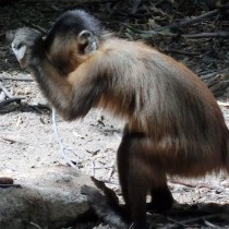 Monkeys in Brazil have used stone tools for hundreds of years at least