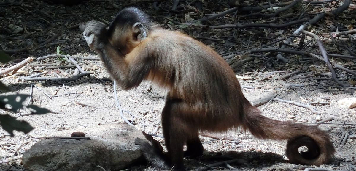 Researchers watched wild capuchins use stones as hand-held hammers and anvils to pound open hard foods such as seeds and cashew nuts, with young monkeys learning from older ones how to do the same.