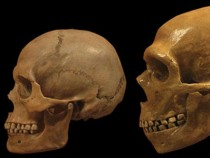 Neanderthal brains grew in patterns similar to ours
