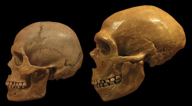 Neanderthal skulls (shown right) develop in a a similar size to modern humans (shown left). When they were born, Neanderthal brains were wider and flatter than modern humans. But after this, their brains developed in a similar way to ours. Image Credit: Daily Mail.
