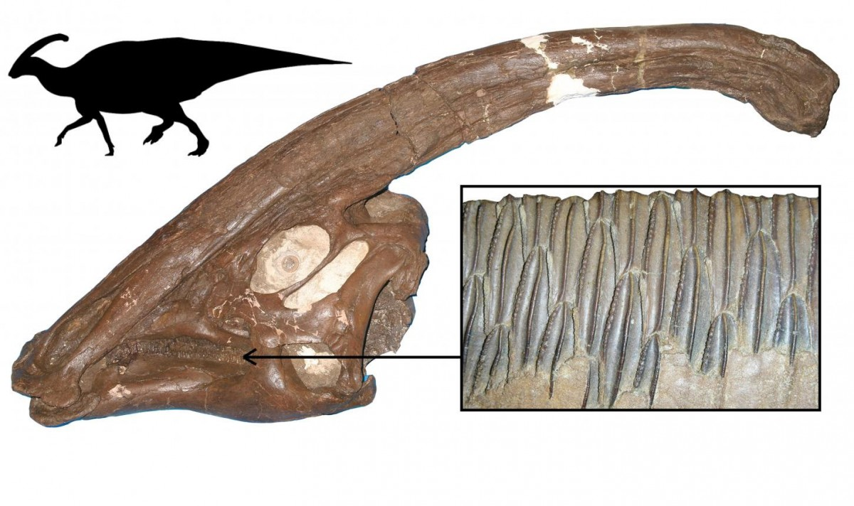 One of the most successful dinosaur plant-eaters, Parasaurolophus from the Late Cretaceous of North America, showing the skull, with long crest, the multiple rows of teeth, and body outline. Hadrosaurs were specialist feeders on confiers and other tough plants, and they were hugely diverse and abundant. Credit: School of Earth Sciences © University of Bristol