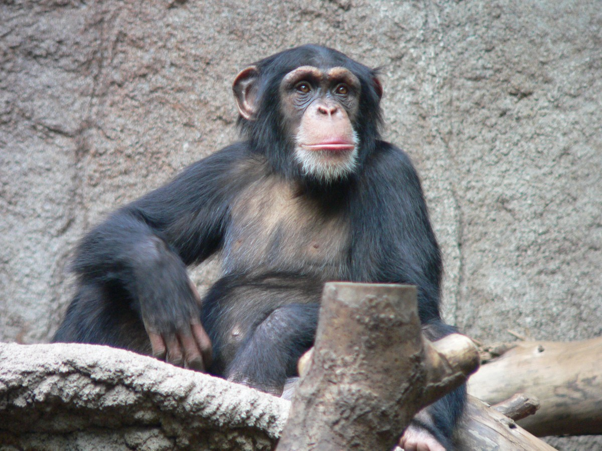 Common Chimpanzee in the Leipzig Zoo.