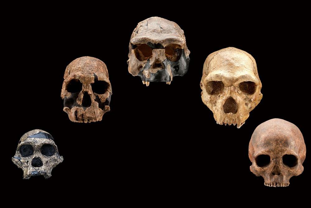 A selection of Hominin skulls.