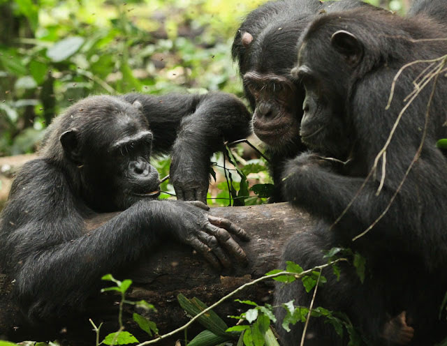 Three chimps are engaging with honey trap experiment in Kibale National Park.