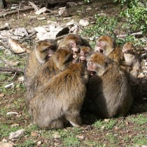 """""""Us versus them"""" social traits may have evolved in monkeys before humans"""
