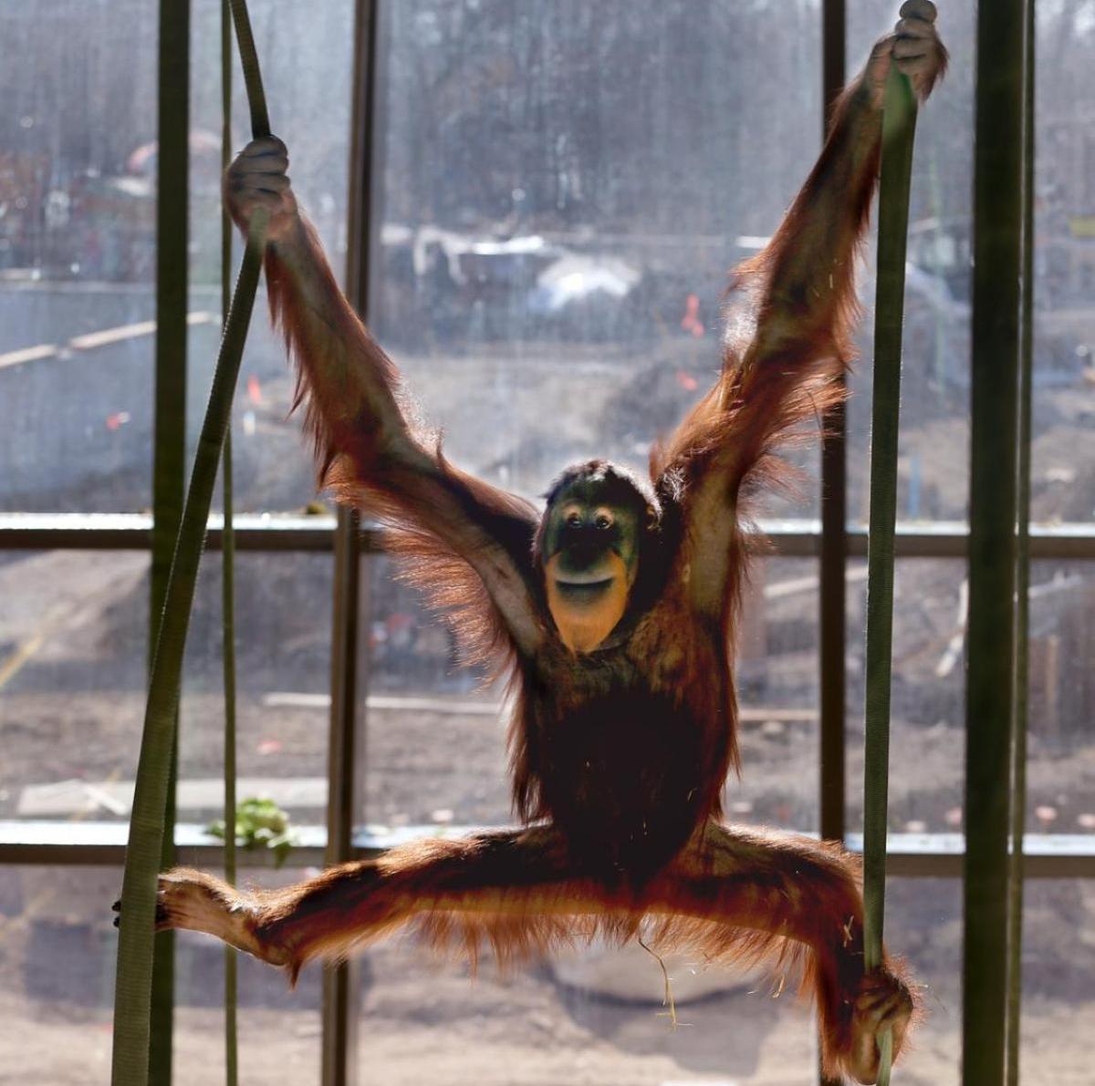 Orangutan Rocky of Indianapolis Zoo is capable of controlling his voice. © MATT KRYGER/AP