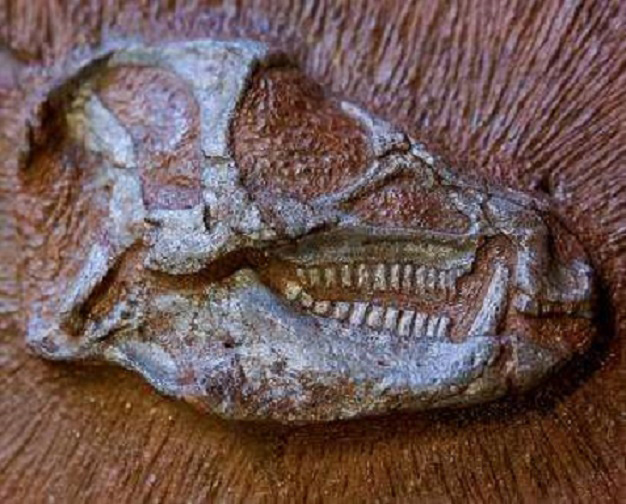 Skull of the Heterodontosaurus tucki dinosaur [Credit: ESRF/P. Jayet]