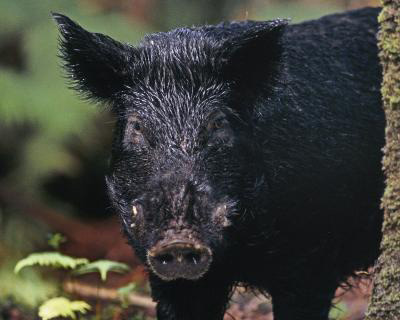 A modern feral Hawaiian pig may owe its black coat to its domesticated Polynesian ancestors. Credsit: Jack Jeffrey Photography.