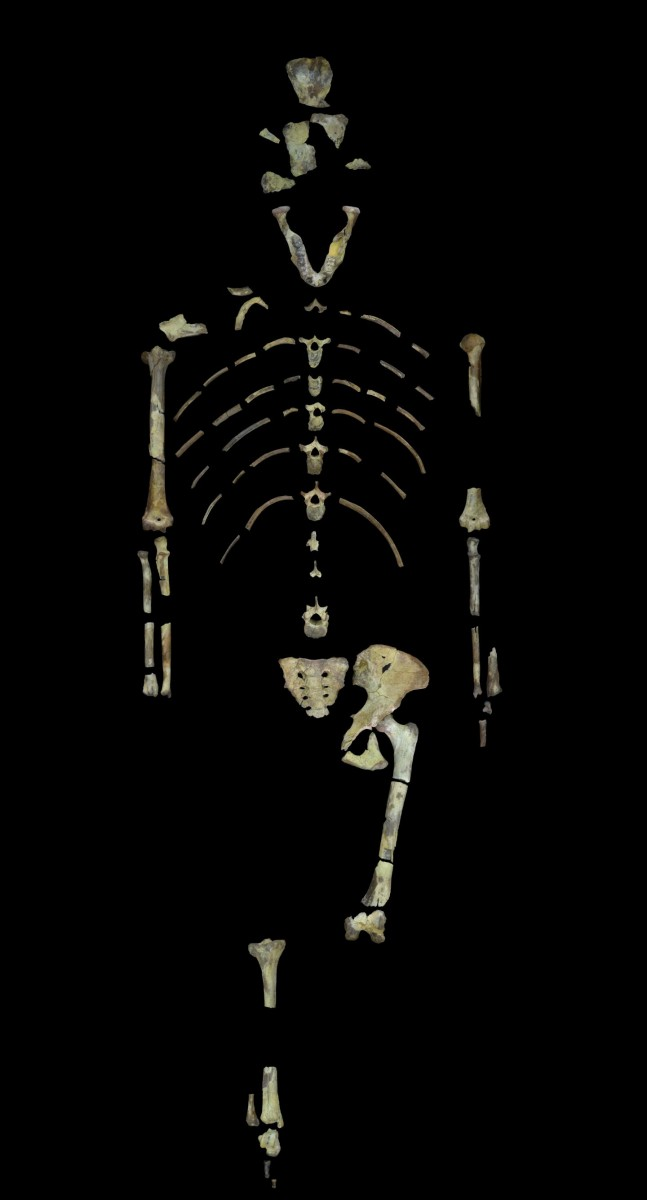 Lucy, a 3.18 million year old fossil specimen of Australopithecus afarensis. Image provided by John Kappelman, UT Austin.