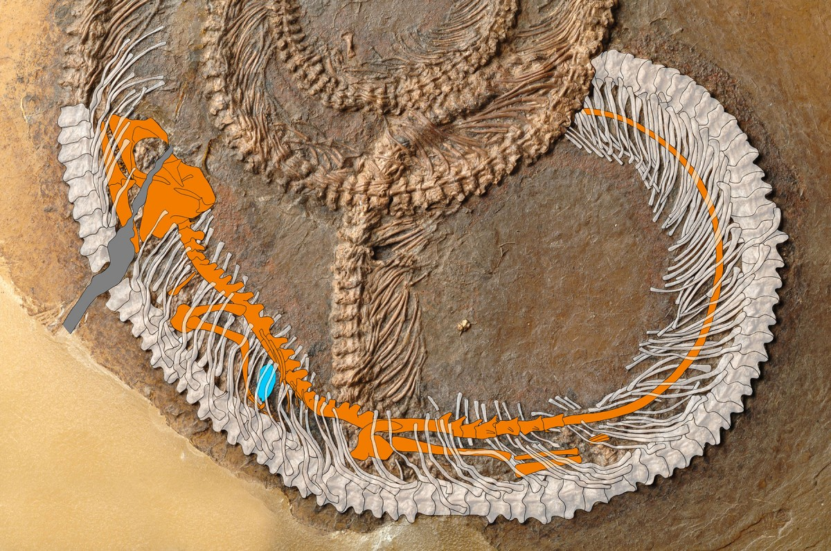 Palaeophython fischeri with the devoured lizard Geiseltaliellus maarius (orange) and the unidentified insect (blue). © Krister Smith