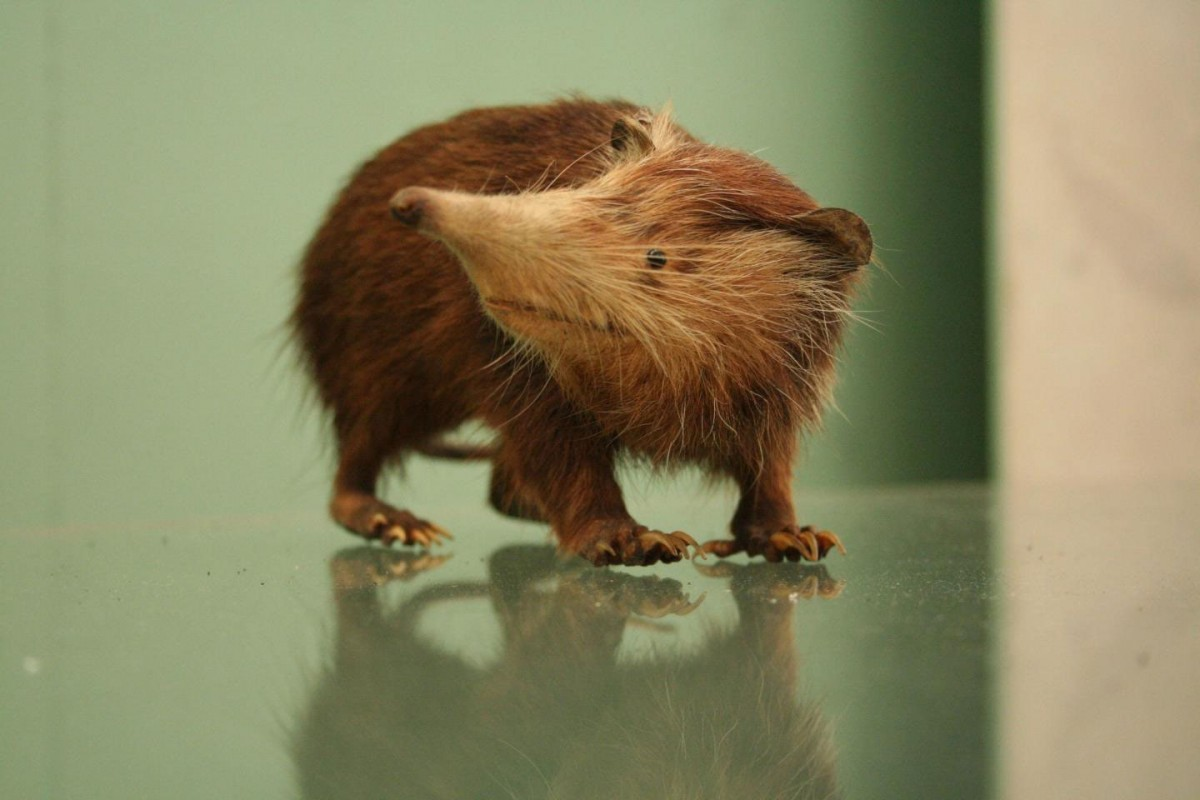 The Solenodon Taxa is the closest living relative to the extinct Nesophontes. Credit: Natural History Museum, London UK.