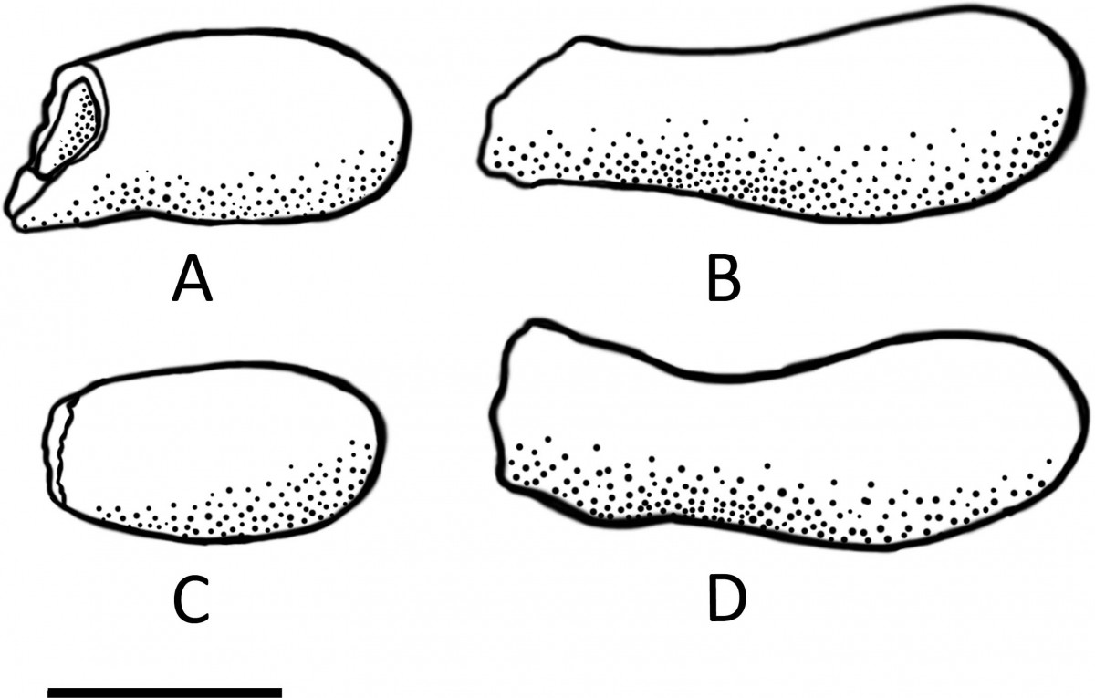 Illustration of internal moulds of four different cells extracted from the Fossil Nest, preserved in varying degrees of completeness. Photo Credit: Jennifer F. Parker, Philip J. Hopley, Brian F. Kuhn/PLOS ONE.