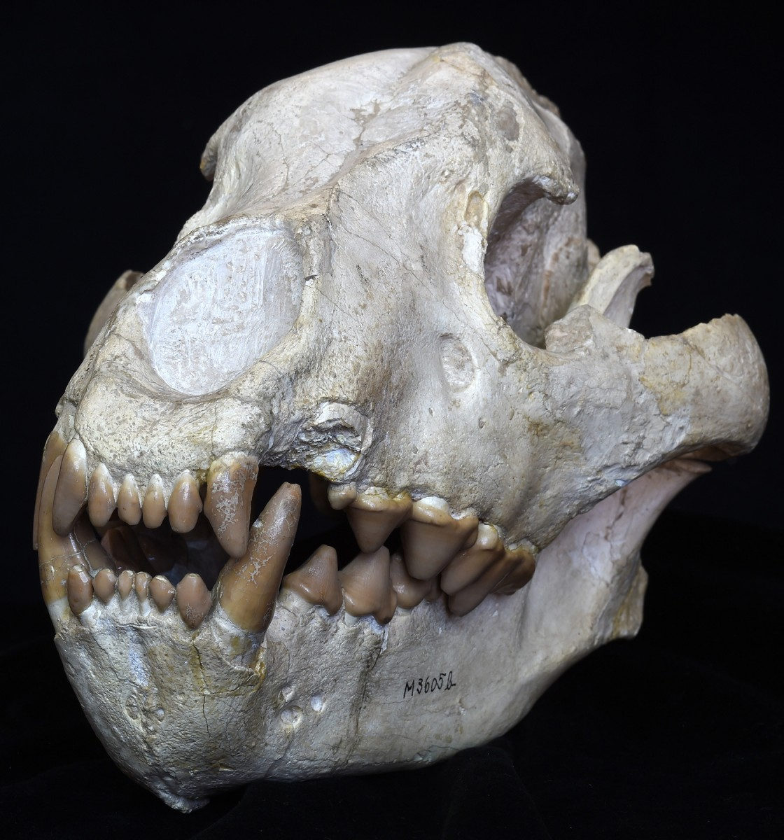Skull of an extinct hyena, Hyaena eximia,  from the lower Pliocene found at Samos,  Greece. © Collection of Senckenberg  Research Institute and Natural History  Museum Frankfurt , Germany  (collection number SMF M 3605 a-b),  photo: Sven Tränkner