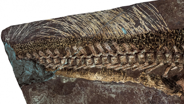 The tail bristles of the Psittacosaurus fossil from the Senckenberg Nature Museum were recently examined using a new method and were identified as dermal structures. © Senckenberg
