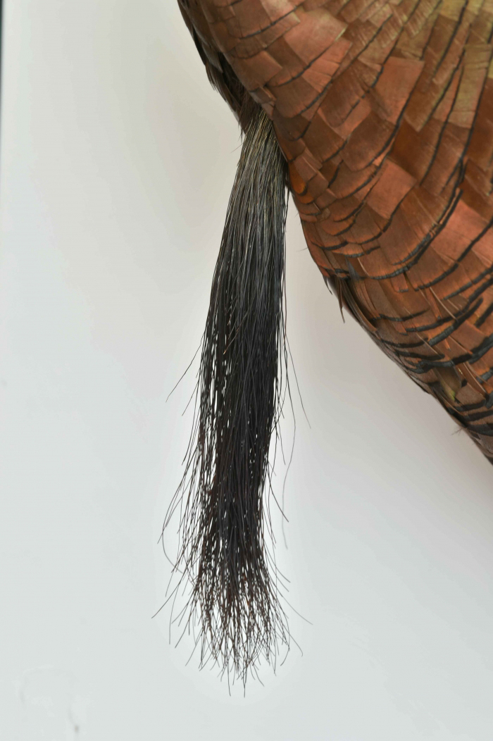 "The bristles can be compared to the ""beard"" of present-day turkeys. © Senckenberg"