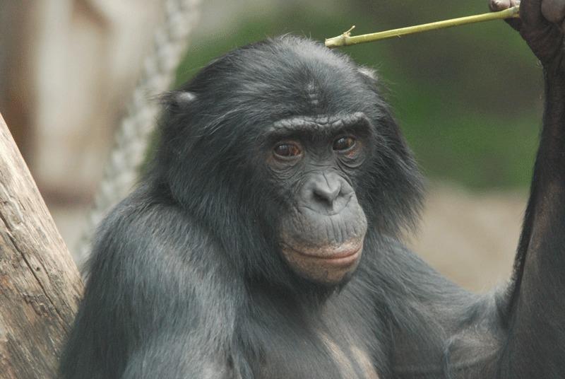 Bonobo Jasongo at Zoo Leipzig. © MPI f. Evolutionary Anthropology
