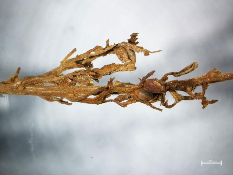 A detail from one of the ancient cannabis plants, showing the resinous hairs that contain psychoactive compounds. Photo Credit: Hongen Jiang/National Geographic.