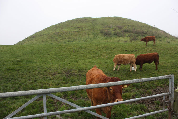 Skipsea Castle motte and the cattle that call it home.Photo Credit: The Round Mound Project.
