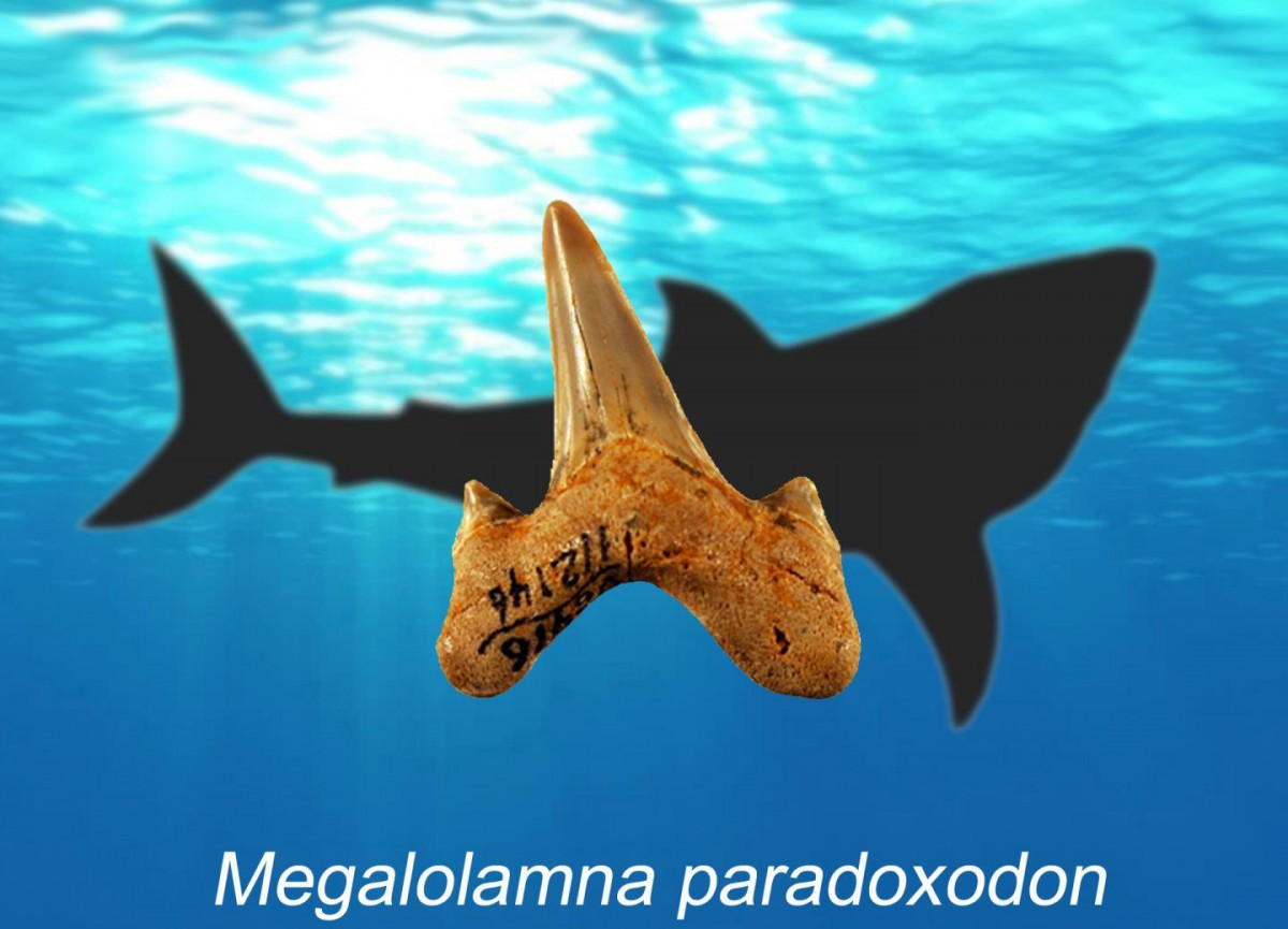 Megalolamna paradoxodon is the name of new extinct shark described by an international research team that lived during the early Miocene epoch about 20 million years ago. Megalolamna paradoxodon had grasping-type front teeth and cutting-type rear teeth likely used to seize and slice medium-sized fish and it lived in the same ancient oceans megatoothed sharks inhabited. Credit: Kenshu Shimada